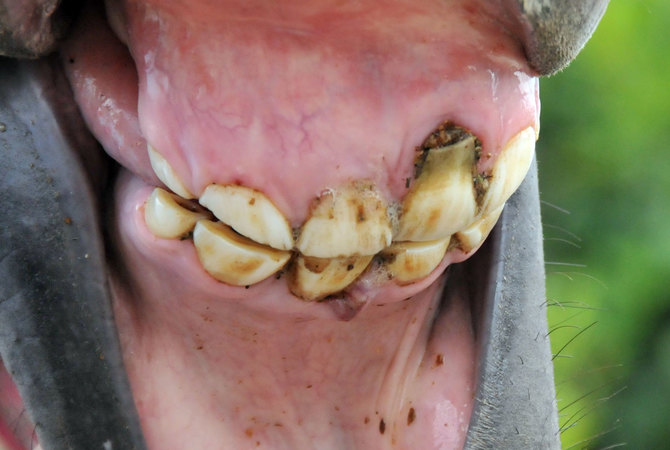 Horse's teeth showing how an infection leads to an abscess affecting the horse's mouth and teeth
