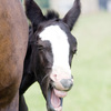 Laughing foal with healthy teeth shows why making horse dental health a priority is important.