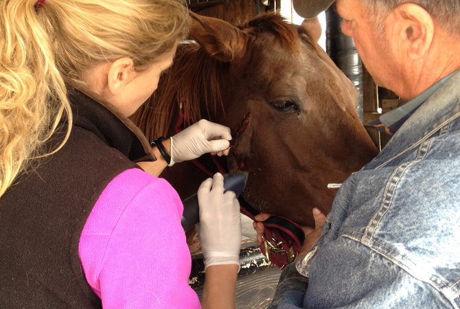 Owner helping veterinarian care for facial wound on horse