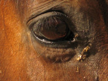 Infected eye of a horse.