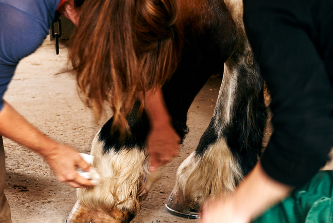 Owners inspecting, disinfecting and bandaging an injury on a horse's leg.