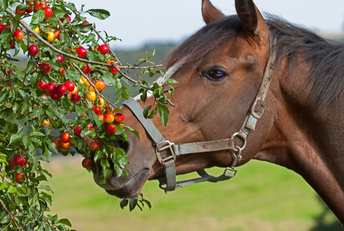 Horse investigating possibly poisonous red berries on a tree in pasture.