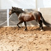 Horse being trained for strength, power, and endurance by lunging workout in deep sand.