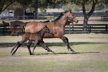 Mare and foal with healthy legs running together.