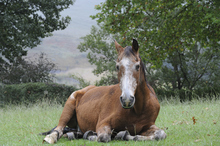 Older horse lying down in pasture.