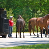 Horses ready for trailering before competition.