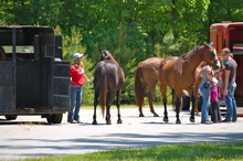 Preparing to load horses into trailers.