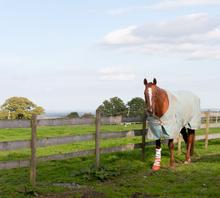 Horse with injured leg.