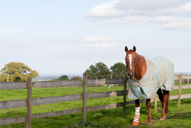 Horse with bandaged leg.