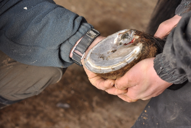 Farrier checking a horse's foot for cause of lameness.