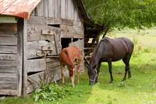 Skinny yearling and older obese horse grazing near a delapidated grainery.