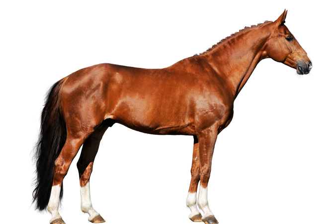 Horse physiology as it relates to physical conditioning and well-being.