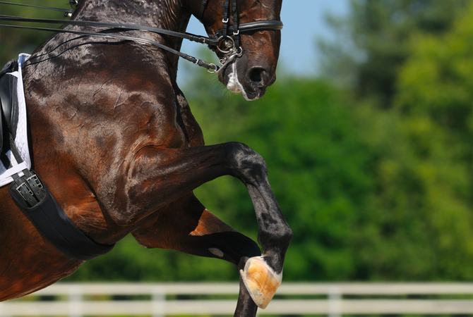 The strength and flexibility of a horse involved in Dressage