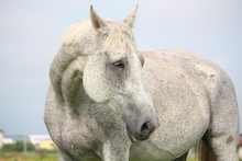 Gray horse showing signs of aging.