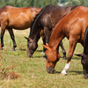 Horses grazing in pasture as fall season arrives.