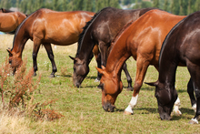 Line of grazing horses.