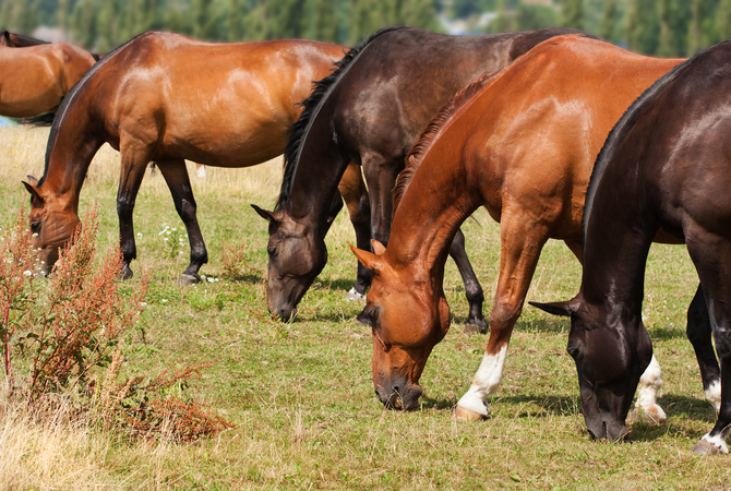 A line of grazing horses in a pasture.