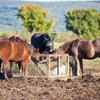 Horses eating from a feeder.