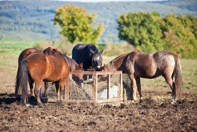 Horses with a round-the-clock feeder that allows them to eat whenever they want some forage.