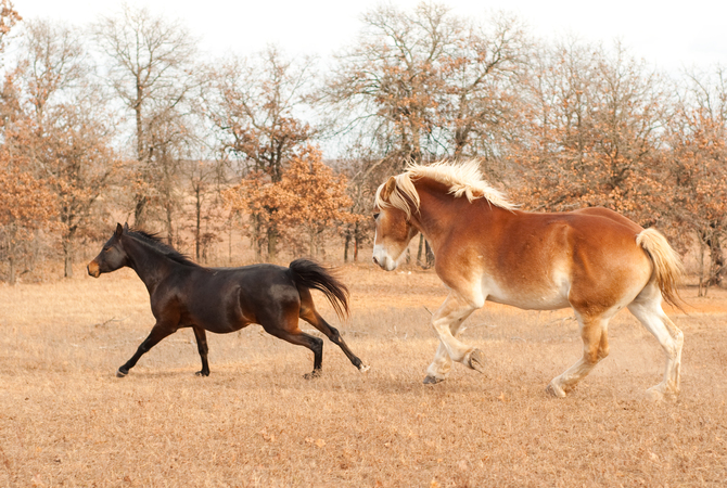 Two horses running in pasture during turnout.
