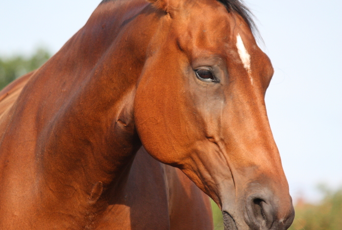 A stressed horse as evidenced by facial expression and disengaged eyes. Watch Out!