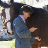 Veterinarian taking horse's temperature.