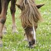 Horse enjoying variety of pasture plants.