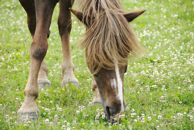 Horse enjoying springtime pasture, clover and all!
