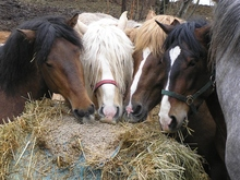 Horses enjoying a meal together.