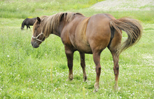 Horses in pasture - A source of parasites.