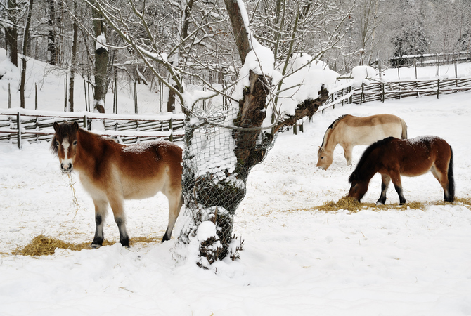 Horses in a winter pasture foraging for hay.