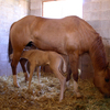 Mare and foal in stall.