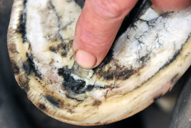 An abscess in a horse's hoof.