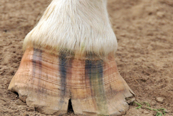 A cracked, delaminated hoof.