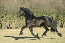 Black horse running in pasture showing topline form and function.