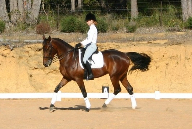 A Standardbred engaged in dressage movements.