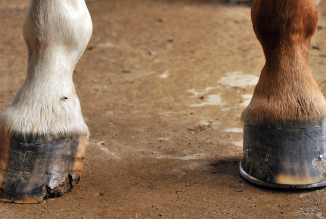 Horse's hooves as a cause of lameness