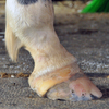 Cracked hoof with holes and problems in coronary band.
