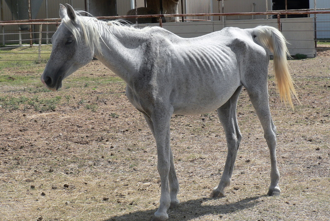 Malnourished white horse needing special nutritional care.