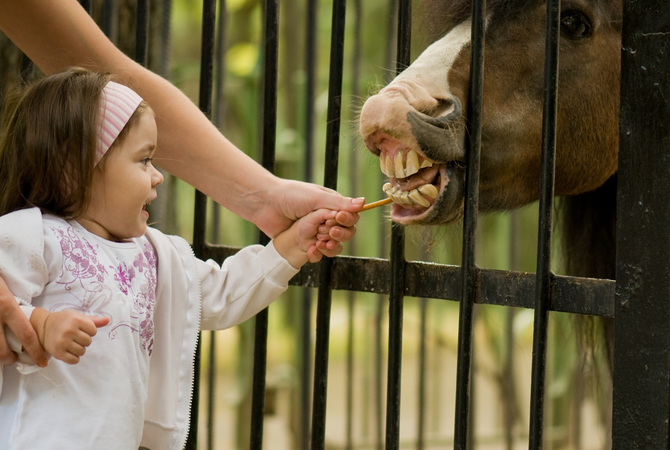 Little girl giving horse a treat. Apple peel anyone?