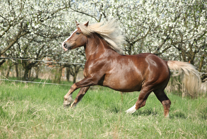A pregnant mare exercising in pasture