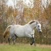 Healthy white mare enjoying run in autumn pasture.