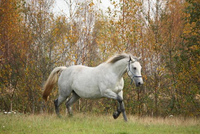 Pregnant mare running in pasture.
