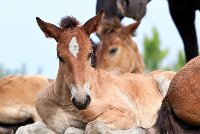 Foals in pasture with mares.