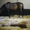 Mare with resting foal in stall.