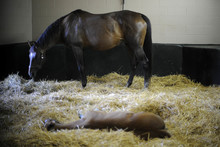 Foal lying on bed of straw near mare in stall.
