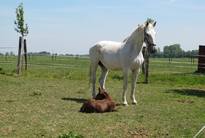 New brown foal in pasture with white mare.