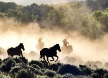 Round up of wild horses.
