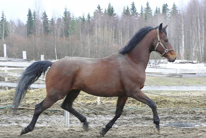 A horse taking a breath of fresh air while exercising.