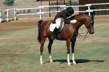 Beauty of the Arabian dressage horse.